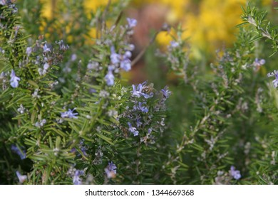 Bee in the rosemary