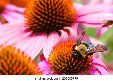 Bee Rushes to Harvest Pollen from Various Echinacea Flowers