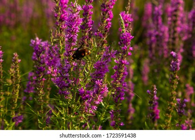 a bee sits on a lupine flower in a field of lilac purple flowers