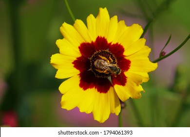 A bee sits on a yellow and chestnut flower or brown flower, bee pollinating plains coreopsis fllower (Coreopsis tinctoria) close-up.