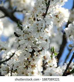A bee sitting on a branch of a blooming plum tree