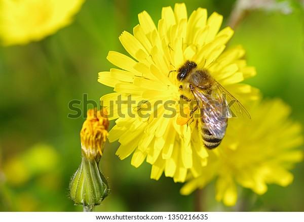 bee-sitting-on-dandelion-blossom-600w-13