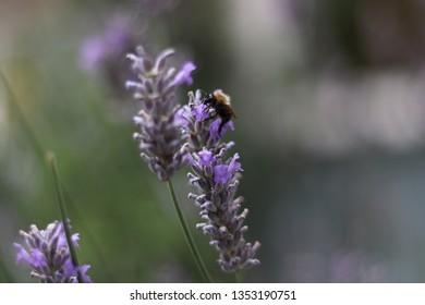 Bee sitting on lavender