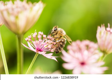 A bee is sitting on a pink flower (astrantia major)