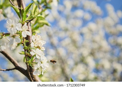 Bee in sour cherry flower collecting polen