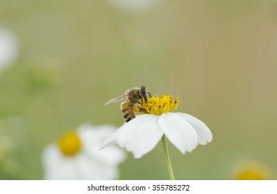 Bee sucking nectar from yellow flowers .