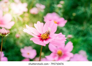 Bee sucking pink flowers. Pink Flower Field. Cosmos Flower Field.