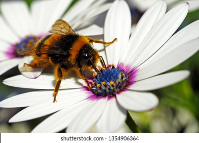 Bee sucking pollen on a daisy