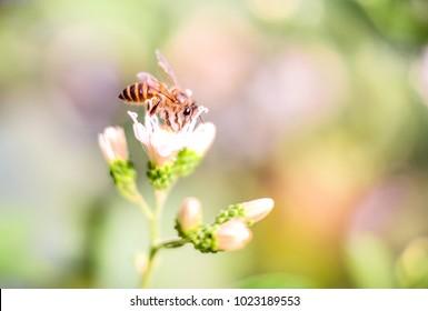 Bee sucking white flowers, Bee Morning Flowers.
