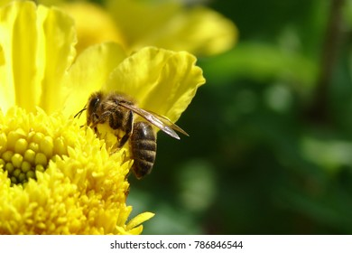 The bee take honey on yellow flower