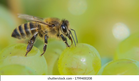 Bee that recovers sugar from a bunch of grapes