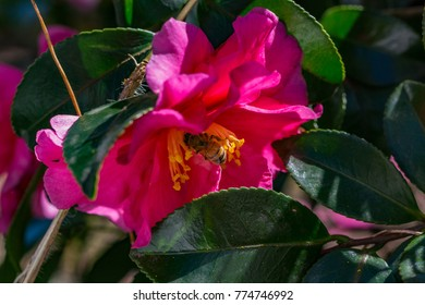 A bee visits Camellia flowers along a river in Japan on a bright November Day.  These bushes are common across japan along roadsides, parks, and rivers..