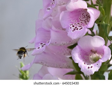 Bee visits Pink Foxglove for nectar pollen
