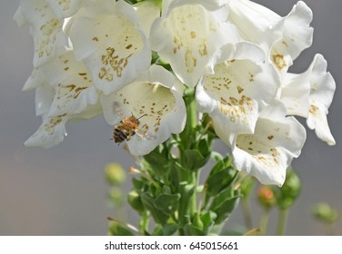Bee visits White Foxglove for nectar pollen