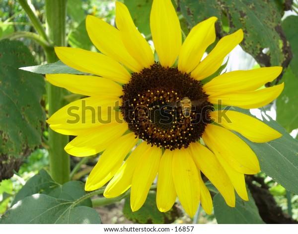 A bee visting a sunflower