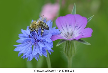Bee while pollinating a flower in close up