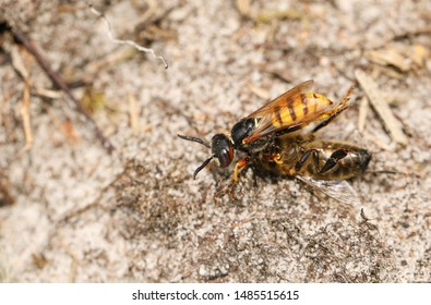 A Bee Wolf Wasp, Philanthus triangulum, with its prey that it has just caught a worker honey bee, Apis mellifera.