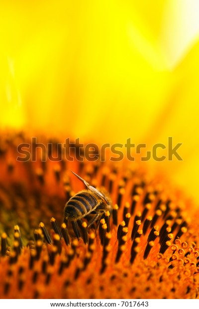 Bee at work on a sunflower