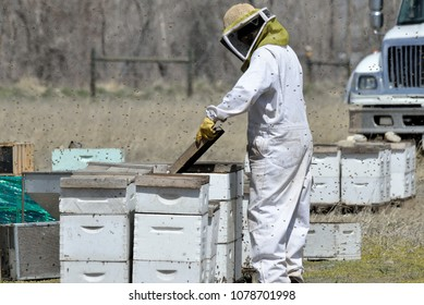 Bee worker checks one of the hives being readied for transport.