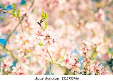 Bee working almond tree flowers
