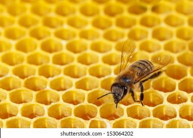 Bee works on hexagonal honeycombs