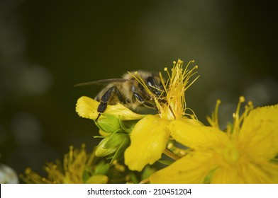 bee in a yellow blossom