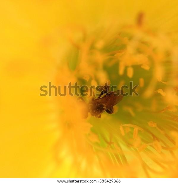 bee in yellow cactus flower