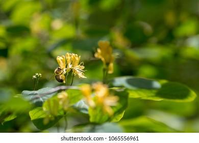 bee in yellow flower of honeysuckle