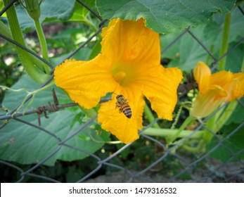 A bee yellow pumpkin flower. A honeybee flies on  yellow pumpkin flower in a summer morning. close up of a bee on the pestle of a huge yellow pumpkin flower with fence background. Cultivating Organic