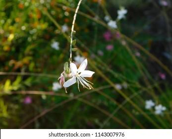Beeblossom, or oenothera or gaura lindheimeri, flower, in Glyfada, Greece
