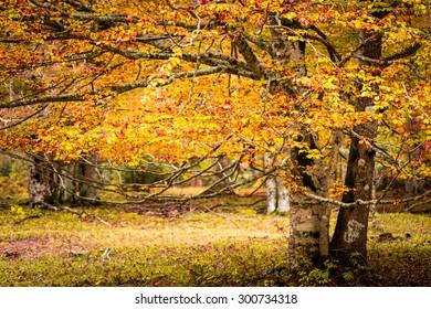 Beech at autumn