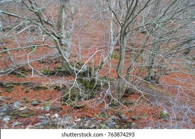 Beech in autumn