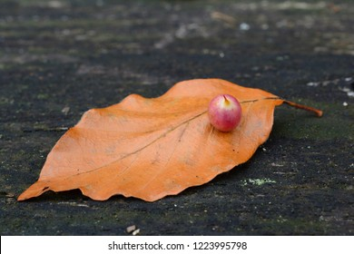 Beech autumn leaf withone Gall midge's or gall gnat's cocoon placed on old dark oak table, single leaf, close up view