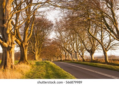 The beech avenue at Kingston Lacy in Dorset, England.