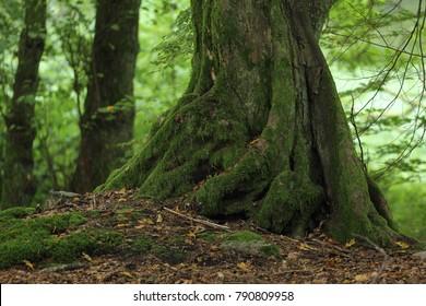 Beech (Fagus) in forest