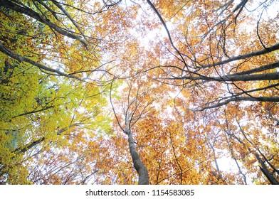 Beech forest in autumn
