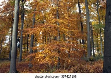 beech forest; in autumn