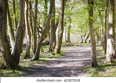 Beech forest during spring.
