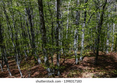 Beech forest during spring. Fagus sylvatica.