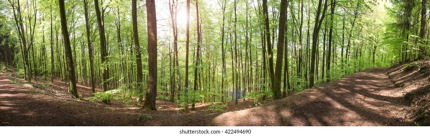 beech forest high definition panorama