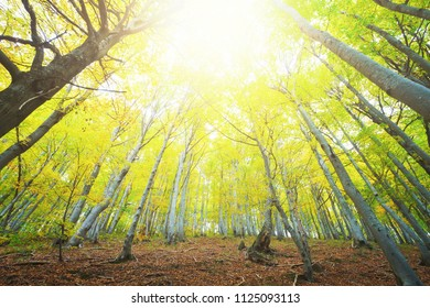 Beech forest illuminated by the bright yellow sunlight. Low and wide angle camera view