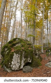 Beech forest. Locality: Castel del Piano (GR), Tuscany, Italy.