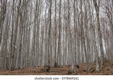 Beech forest in Lower Silesia region in Poland