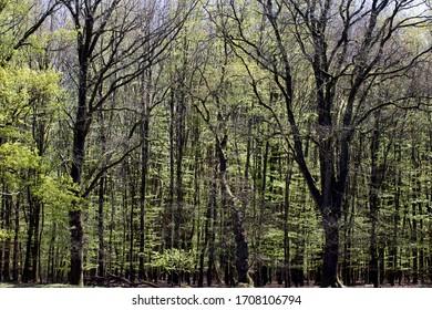 Bosque de hayas en la salud de Kraloër, Países Bajos