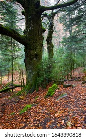 Beech forest in the Ordesa National Park