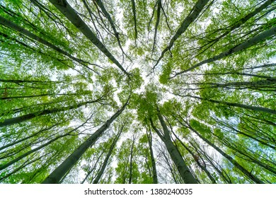 beech forest photographed from below, tall green trees in spring bottom view
