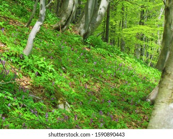Beech forest with purple blooming hollowroot (Corydalis cava) flowers covering the ground lit by sunlight under Porezen in the hills of Cerkno in Gorenjska region of Slovenia