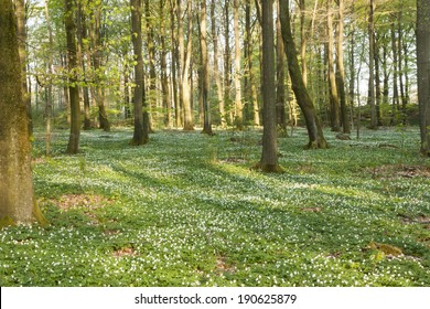 Beech forest in south Sweden with field of wood anemones