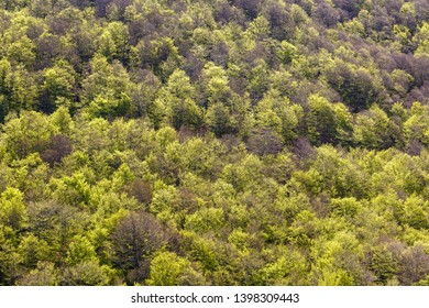 Beech forest in spring. Fagus sylvatica. Beech forest.