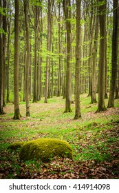 Beech forest. Sunlight in the green forest, spring time.